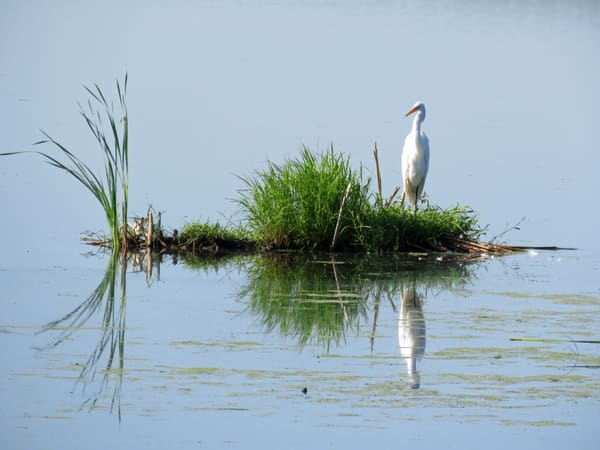 Reflections Great Egret Photography Art | Lake LIfe Images