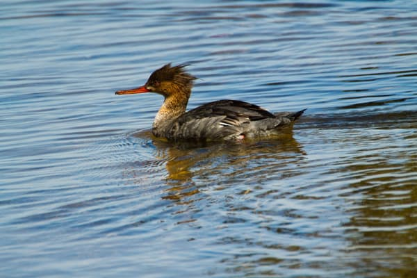 Female Red Breasted Merganser Swimming Photography Art   Lake LIfe Images
