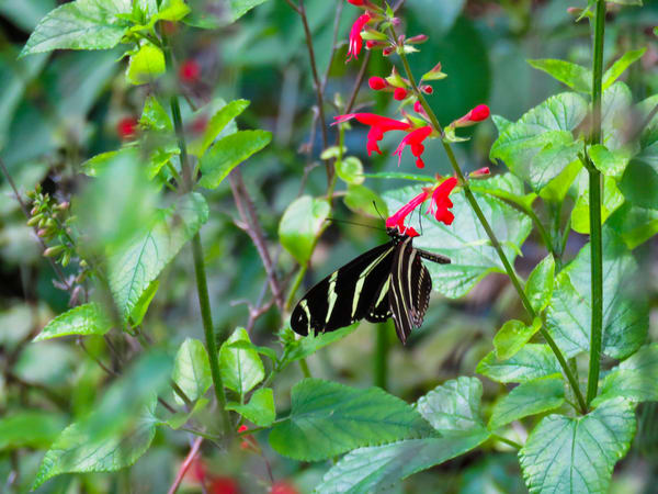 Zebra Longwing Butterfly Photography Art | Lake LIfe Images