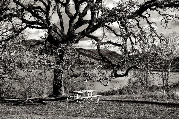 Large Oak Tree Dexter Lake Oregon Art | Shaun McGrath Photography