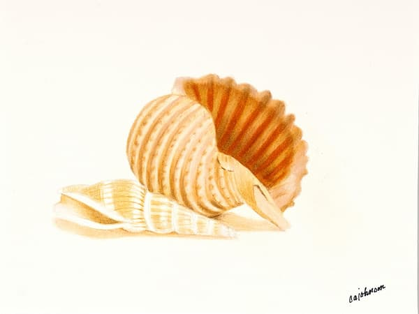 Banded Tun, From an Original Colored Pencil Painting