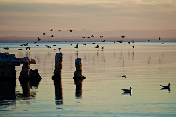 a photo of a flock of pelicans in the background and gulls floating in the foreground.