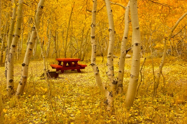 an image of a red picnic table under a canopy of yellow aspens in the eastern sierras