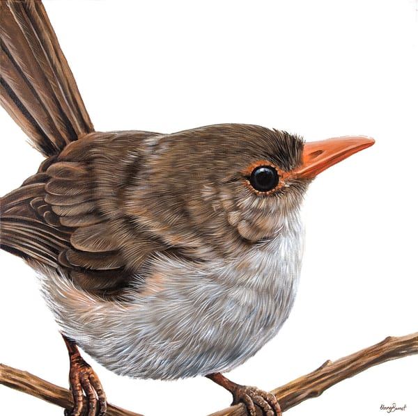 Rachel - Superb Fairy Wren