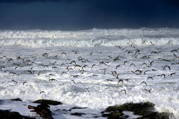 King Tide With Flock Of Terns Art | Shaun McGrath Photography