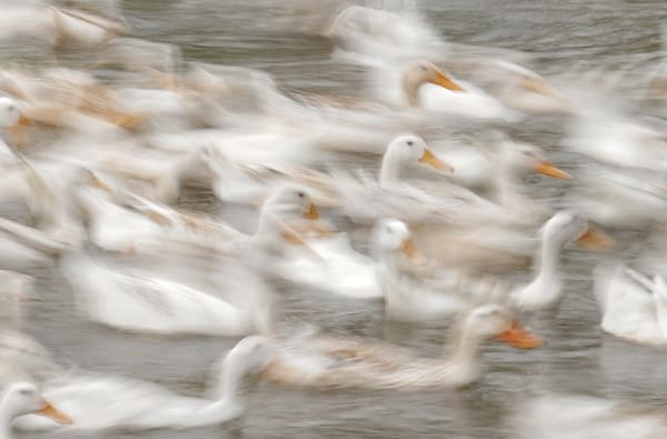 White Ducks Art | Danny Johananoff