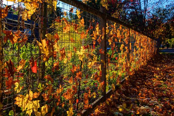 Vibrant Fall Leaves Fence Whiteaker Eugene Oregon Art   Shaun McGrath Photography