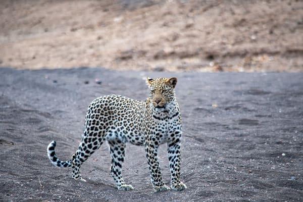 Leopard, South Africa Art   Roost Studios, Inc.