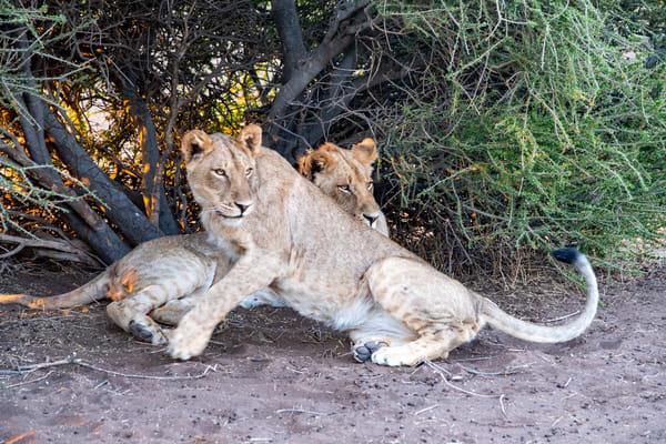 Lions, Botswana Art   Roost Studios, Inc.