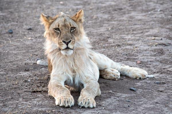 Young Male Lion, Botswana Art   Roost Studios, Inc.