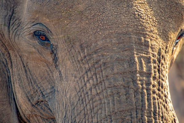 Elephant, Botswana Art   Roost Studios, Inc.