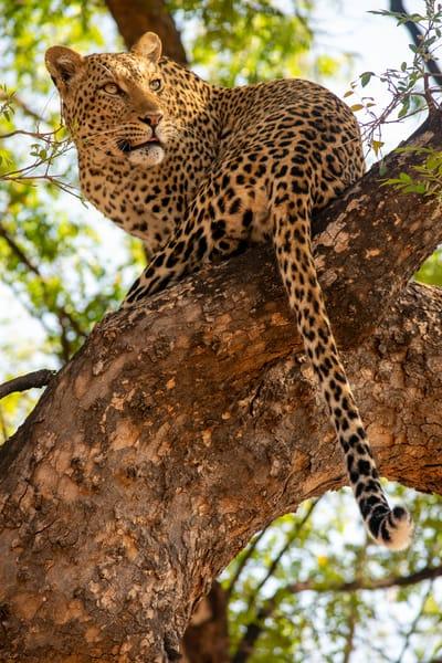 Leopard In A Tree, Botswana Art   Roost Studios, Inc.