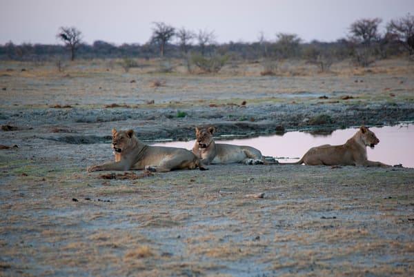 Lions, Kalahari Desert, Botswana Art | Roost Studios, Inc.