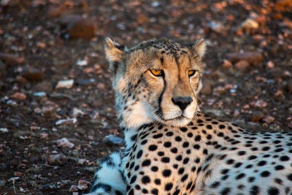 Cheetah, Botswana Art | Roost Studios, Inc.