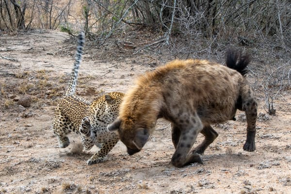 Leopard Fighting With Spotted Hyena Art | Roost Studios, Inc.