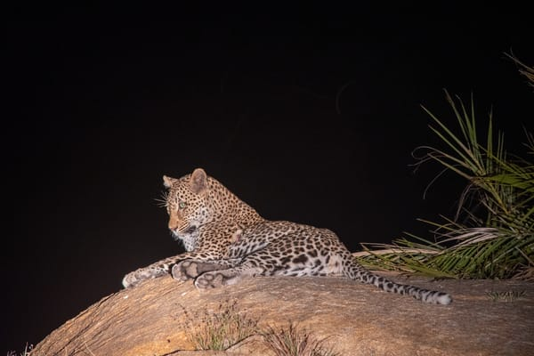 Leopard At Night, South Africa Art | Roost Studios, Inc.