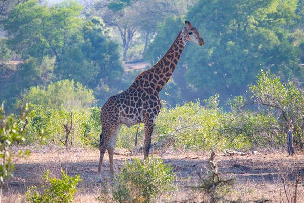 Giraffe, South Africa Art | Roost Studios, Inc.