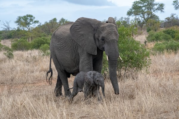 Elephants, Mother And Child, South Africa Art | Roost Studios, Inc.