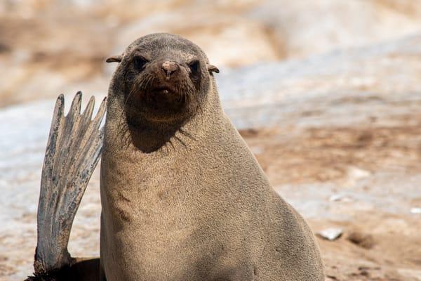 Cape Fur Seal, Namibia Art   Roost Studios, Inc.