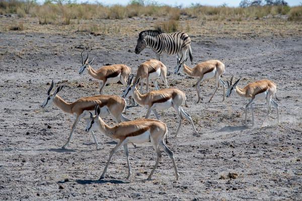 Impala And Zebra, Etosha, Namibia Art   Roost Studios, Inc.