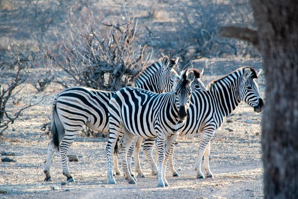Zebras, Namibia Art   Roost Studios, Inc.