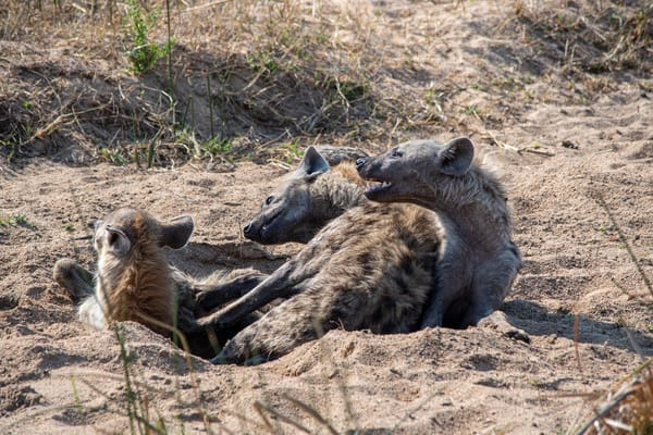 Spotted Hyenas, South Africa Art | Roost Studios, Inc.