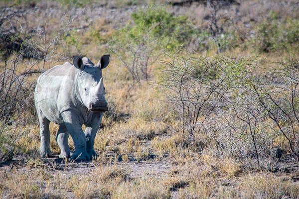 White Rhinoceros Art | Roost Studios, Inc.