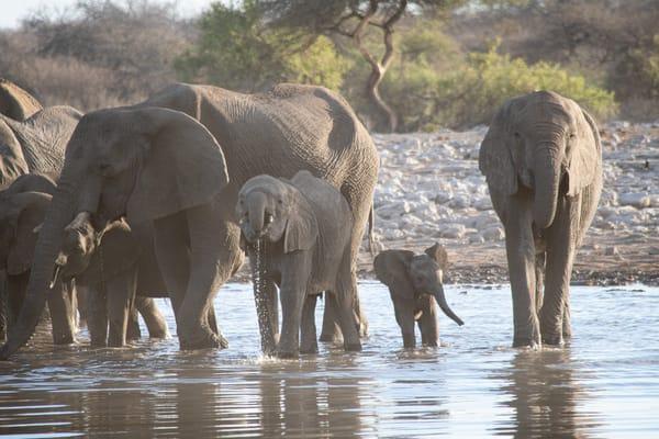 Elephant Family, Etosha, Namibia Art | Roost Studios, Inc.