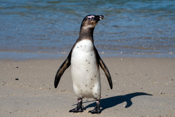 African Penguin, Simon's Town, South Africa Art | Roost Studios, Inc.
