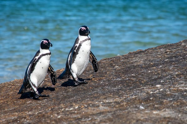 African Penguins, Simon's Town, South Africa Art | Roost Studios, Inc.