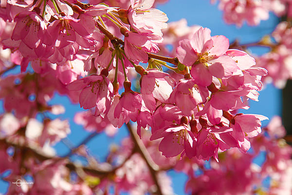 Cherry Blossoms Art | Fred Marco Photography