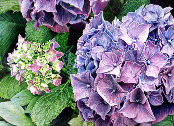 hydrangea purple green flower botanical