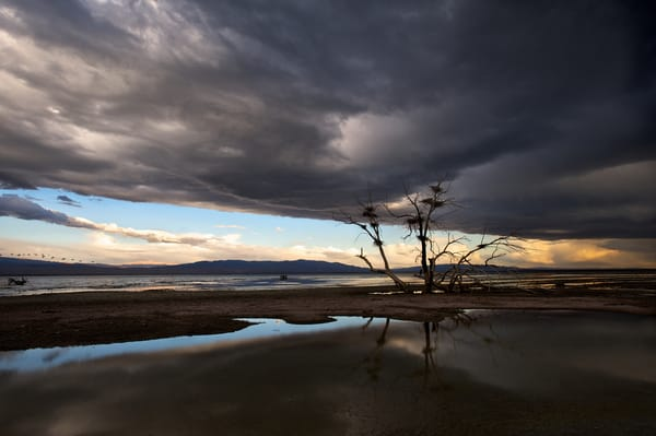 photo of a lone oak tree with heron nests on the shore of the salton sea in southern california