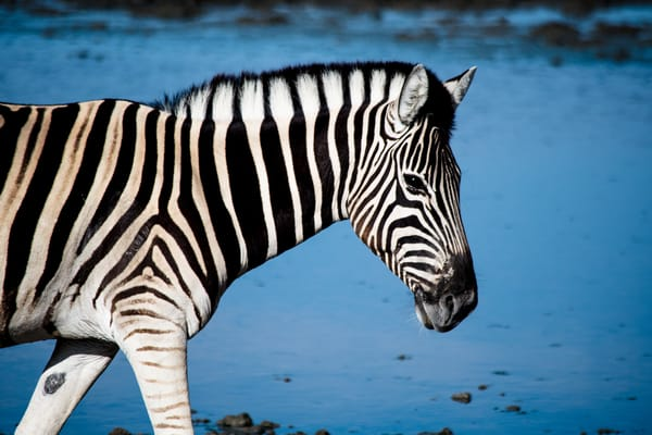 Zebra At Watering Hole, Namibia Art | Roost Studios, Inc.