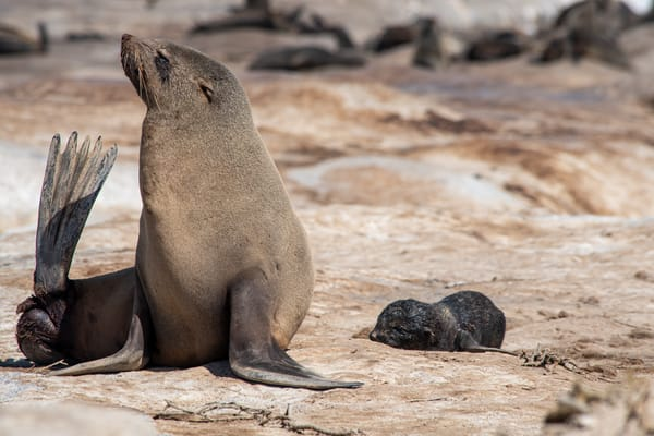 Cape Fur Seal And Newborn Pup Art | Roost Studios, Inc.