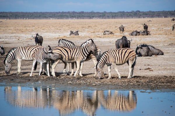 Zebra Reflections, Etosha, Namibia Art | Roost Studios, Inc.