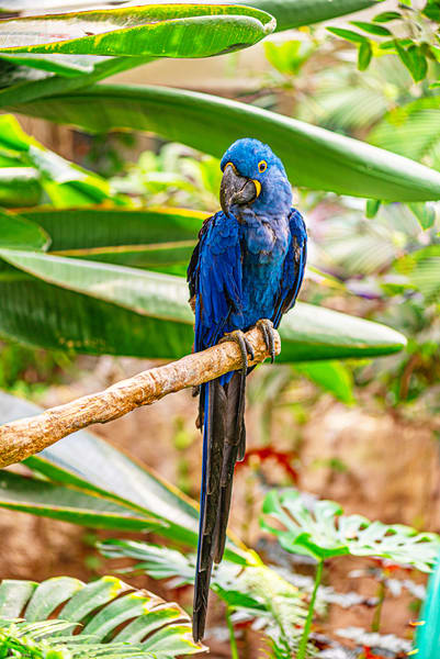 Hyacinth Macaw Photography Art | draphotography