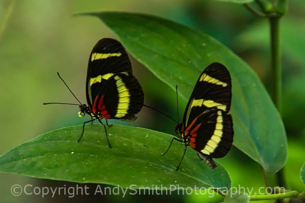 fine art photograph of Hewitsoni Longwings, Heliconius hewitsoni,