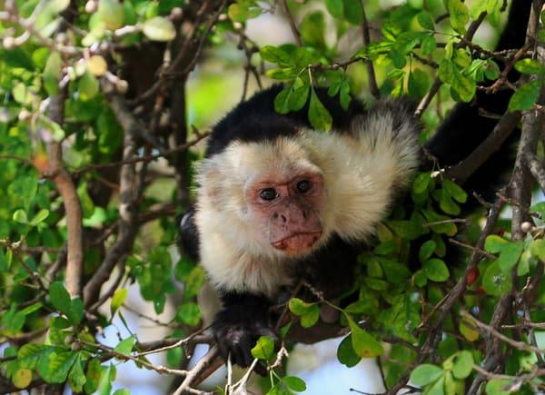 Capuchin Monkey 2 Art | DocSaundersPhotography