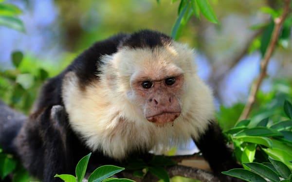 Capuchin Monkey  Art | DocSaundersPhotography