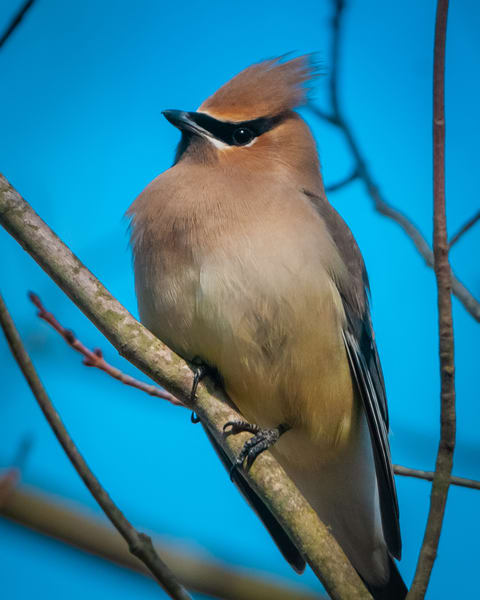 Cedar Waxwing Photography Art | Monteux Gallery