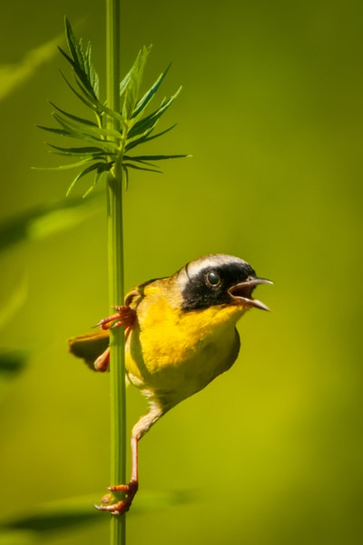 Common Yellowthroat Photography Art | Monteux Gallery