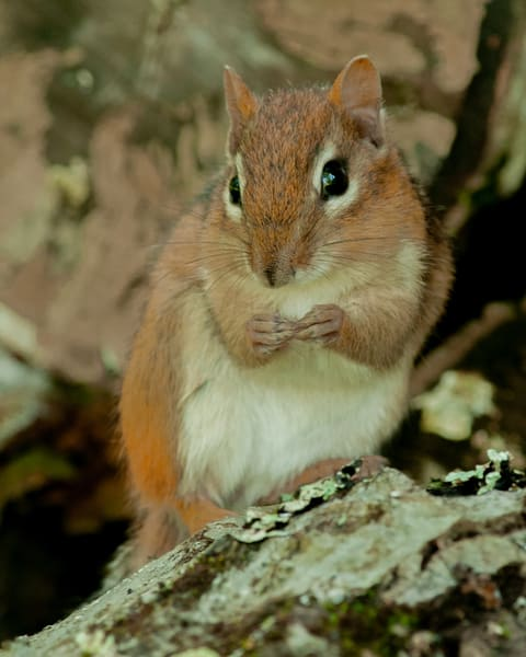 Chipmunk Photography Art | Monteux Gallery