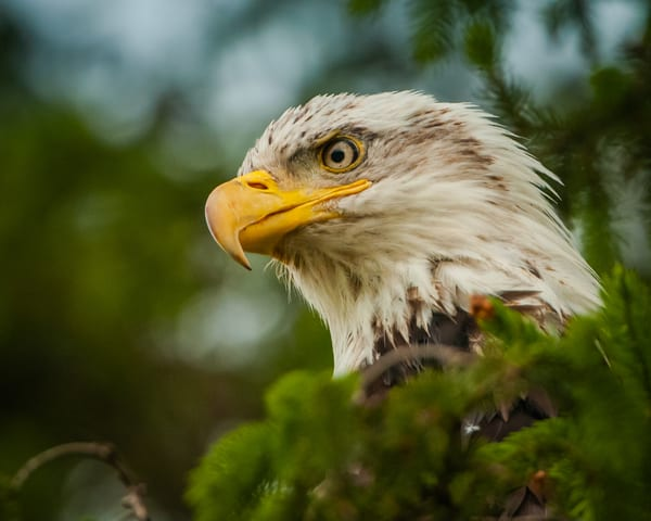 Bald Eagle Portrait Photography Art | Monteux Gallery