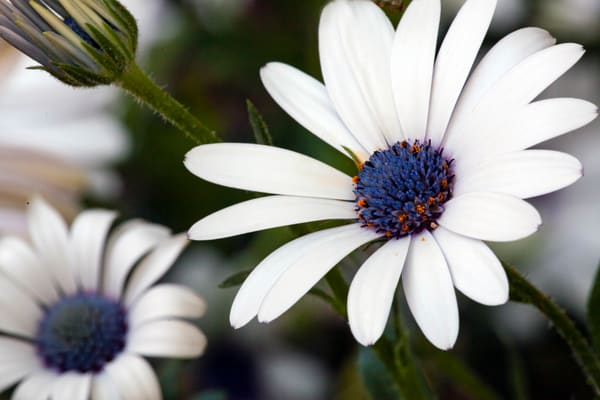 PBuzenius-African-Blue-Daisy