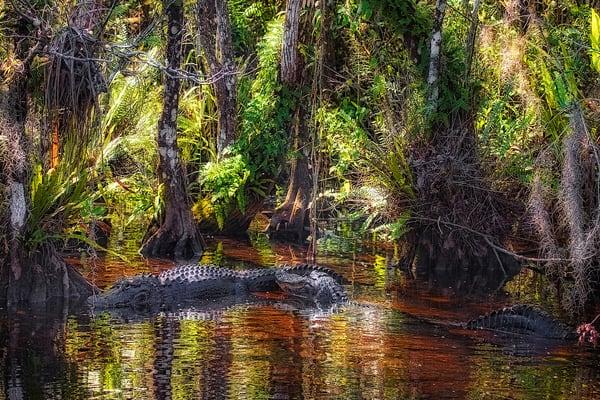 P Buzenius   Alligators In Everglades Art | Branson West Art Gallery - Mary Phillip