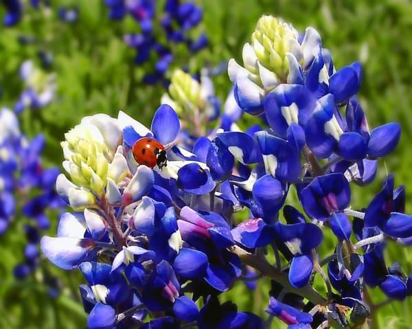 PBuzenius-Bluebonnets-Bug