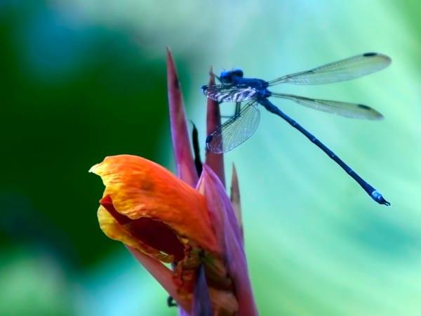PBuzenius-Blue-Dragonfly
