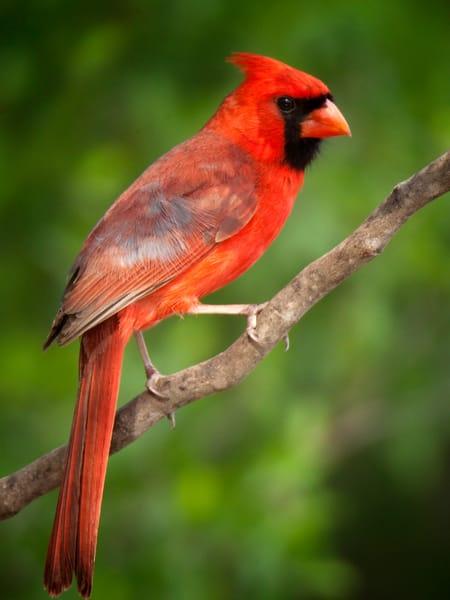 PBuzenius-Cardinal-Male