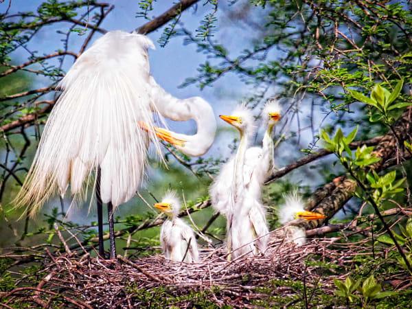 PBuzenius-Egret Nursery-Nest